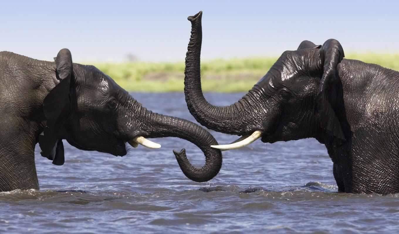 слоны, слон, воде, животные,