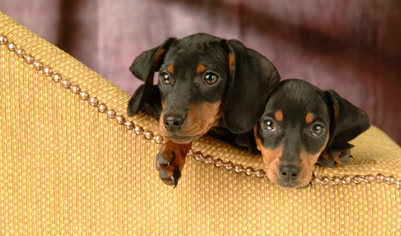 плата, dachshund, щенки, два, интерес,