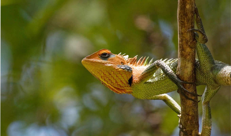 удачный, везение, февр, фотоохота, нужном, iguana, дракон, ящерица, же, июня, месте,