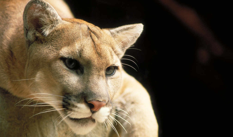 panther, тигр, гора, кот, lion, cougar, дикая, reindeer,