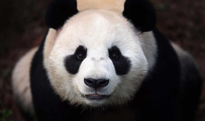 медведь, панда, яndex, есть, коллекциях,