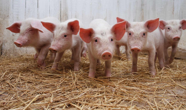 свиней, свинья, свиньи,