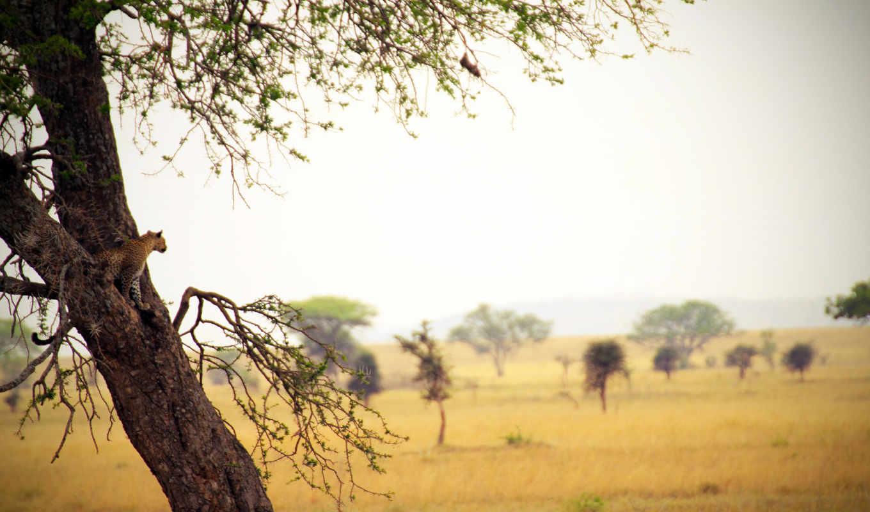 сафари, дерево, графика, категория, дереве, совершенно, леопард,