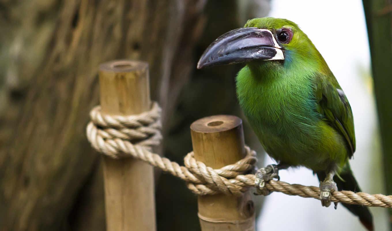 картинка, птица, клюв, zhivotnye, большим, клювом, птицы, птичка, перепелятник,