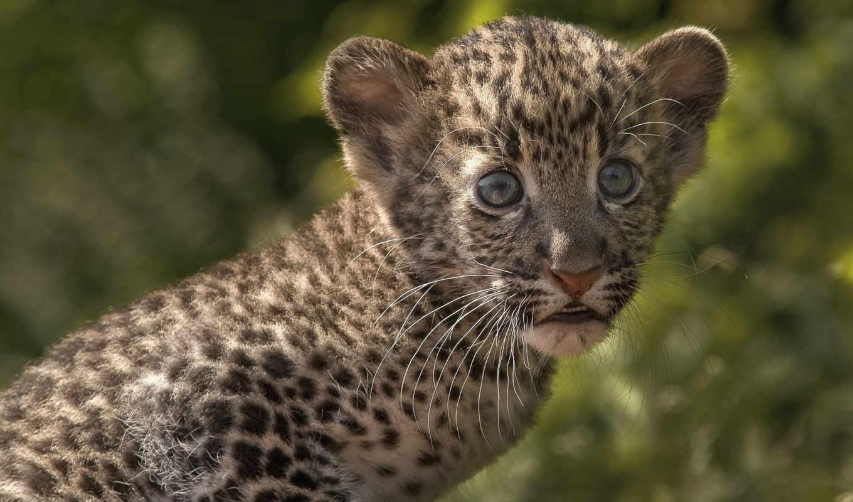 животные, малыш, балла, леопарды,