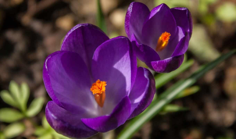 цветы, сиреневые, фиолетовые, крокусы,
