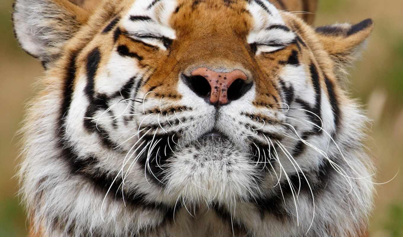 морда, тигр, хищник, животное, окрас, vzglyad, усы,