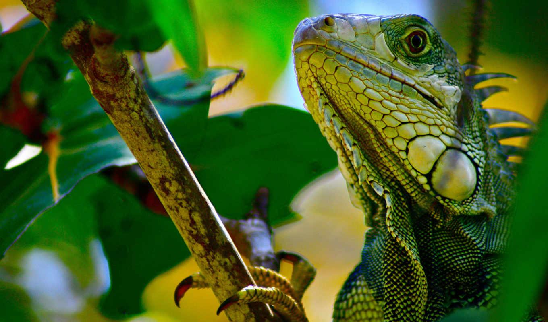 iguana, ipad, branch,
