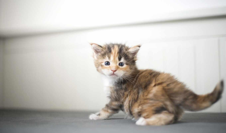 кот, котенок, red, бакенбарды, взгляд, серый