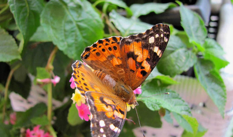 бабочка, you, are, summer, desktop, widescreen, free,