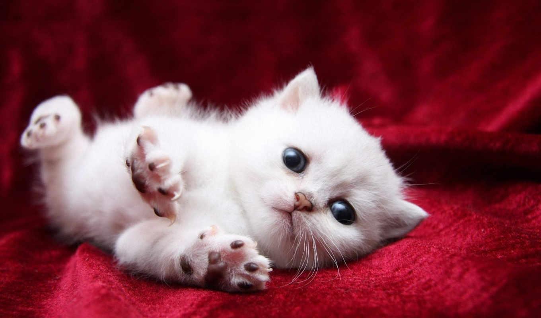 потягивается, кот, white, покрывало, лапы, свет, котенок, мяу, кис,