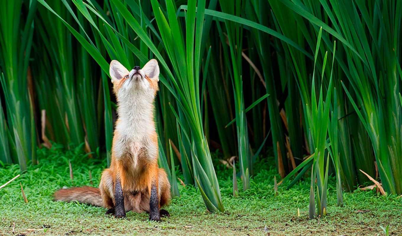 фокс, смотреть, лес, трава, зарослях,