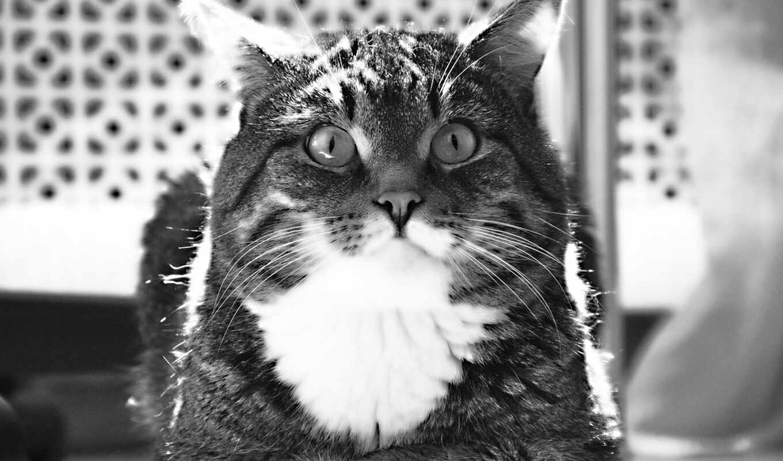 black, white, кот, fat, яndex, short, striped, волосы, морда, глаза
