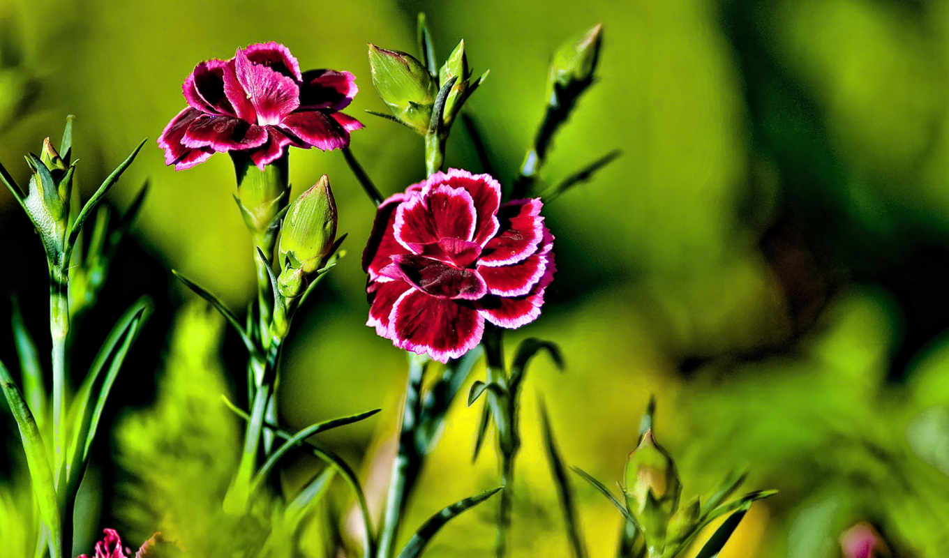 flowers, wallpaper, barbatus, dianthus, nature, summer, hd, flower, цветов, макро, duvar, kağıdı, backgrounds, this, cartolina, глоксинии, like, landscapes, desktop, цветы,