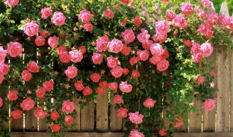 розы, чайные, роза, роз, они, плетистые,