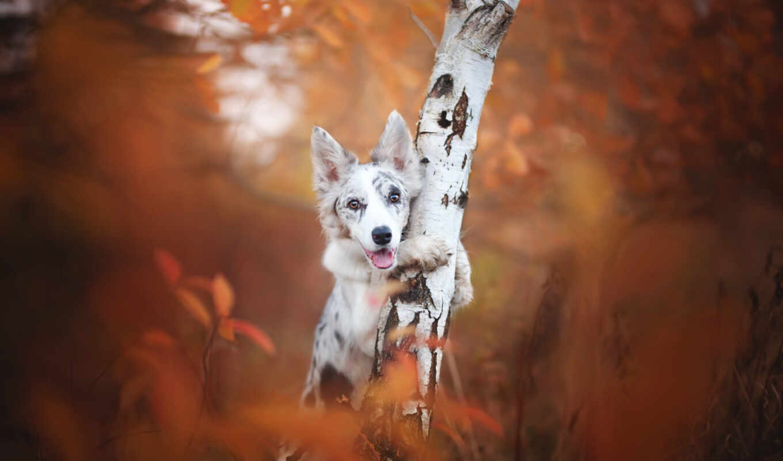 собака, bordercollie, цветы, aussie, cir, картинка, тег