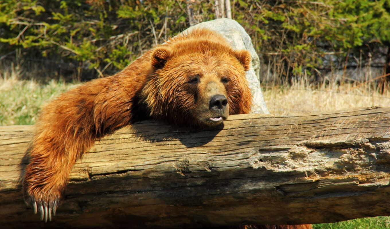 медведь, animal, dream, дерево, narrow, хороший, браун, orif, сонник