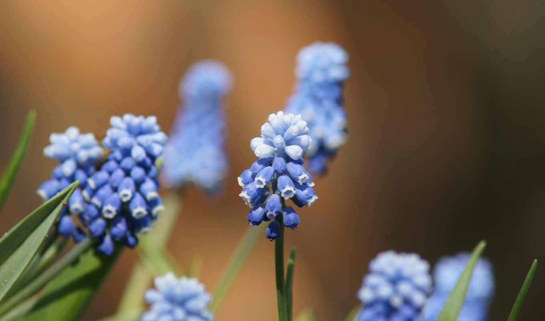 blue, высоком, размытость, мускари, макро,