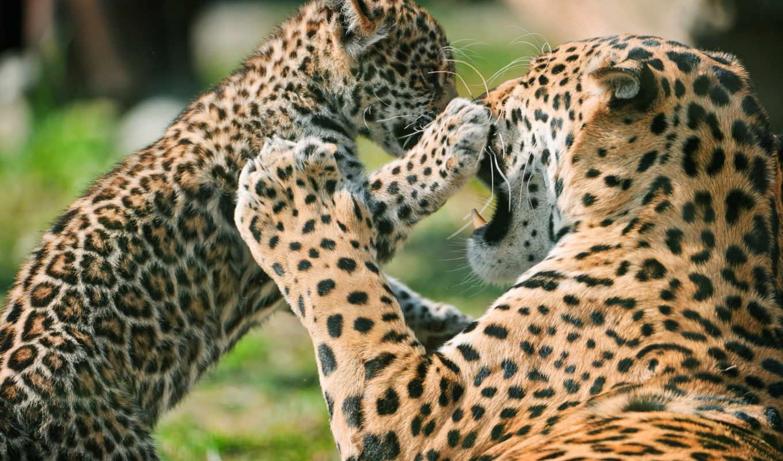 full, животные, часть, jaguar, леопард, oboi, забавные,