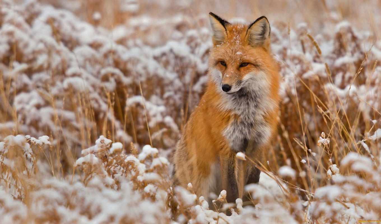 фокс, снег, трава, лисы, winter, ложь, высоком, foxes,