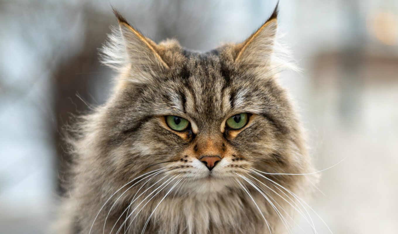 кот, siberian, animal, snout, смотреть, glance, бакенбарды, пушистый, portrait