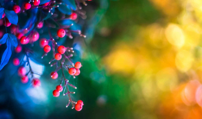 ягоды, листья, веточка, макро, фотографии, украшения, фона, картинка,