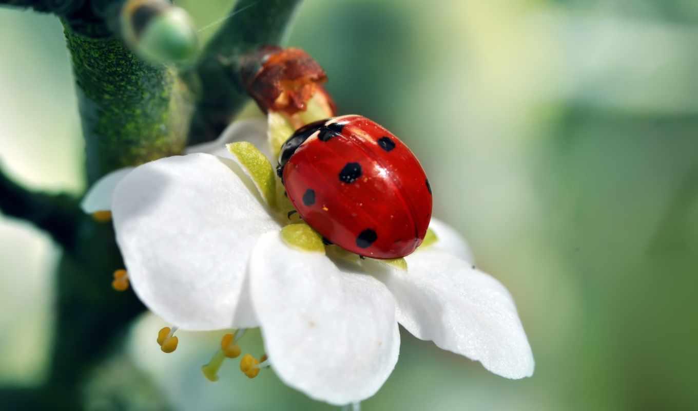 коровка, божья, дерево, ветка, цветок, зелёный, красный, насекомое, белый, картинку, картинка,