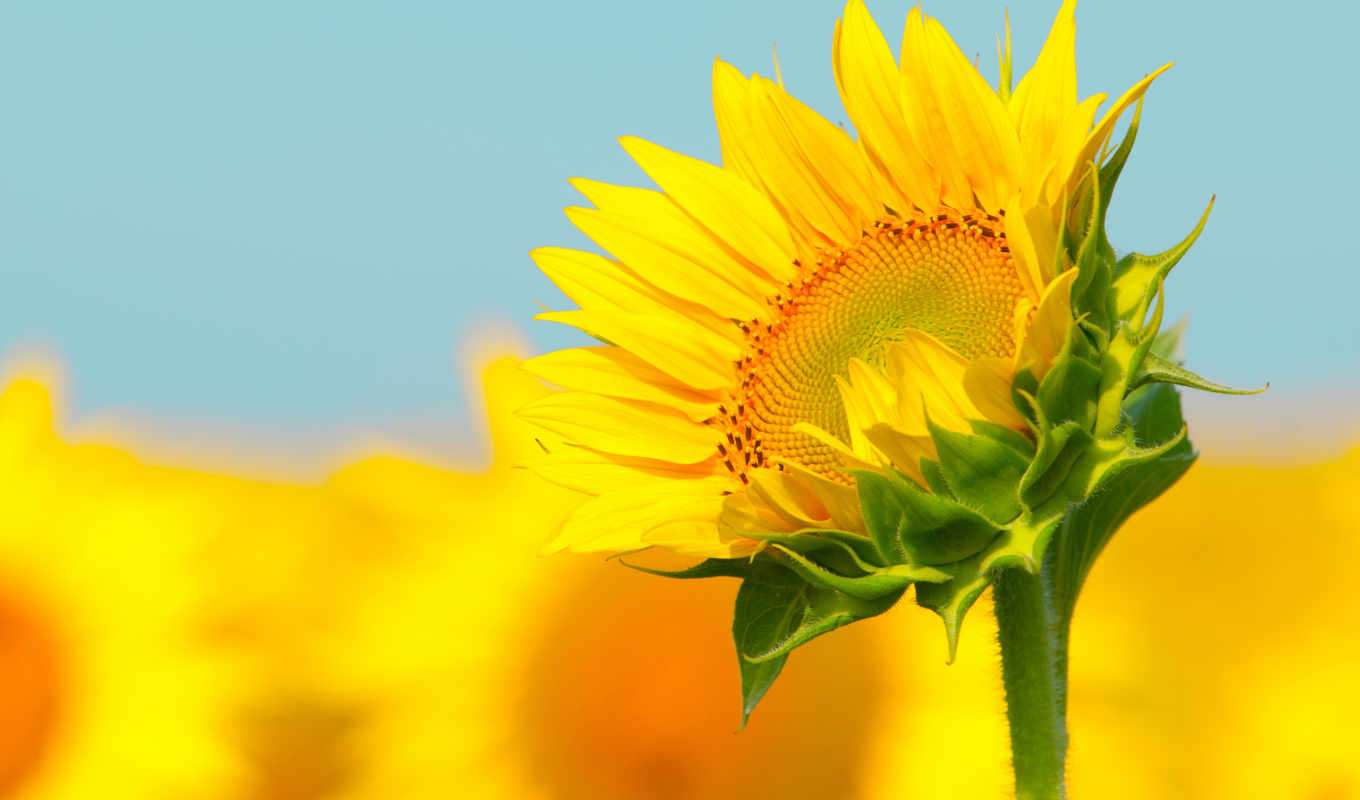 sunflower, stalk,