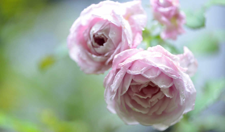 алая, роза, цветы,