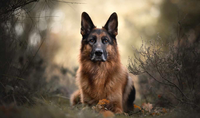 собака, овчарка, порода, группа, german, заставка