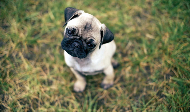 мопс, собака, сидит, vzglyad, разных, разрешениях, голову, щенок,