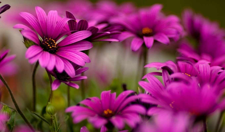 цветы, яркие, фиолетовые,