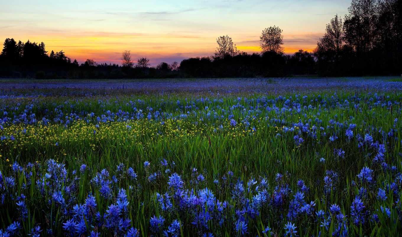 cvety, природа, полевые, утро, поле, роса,