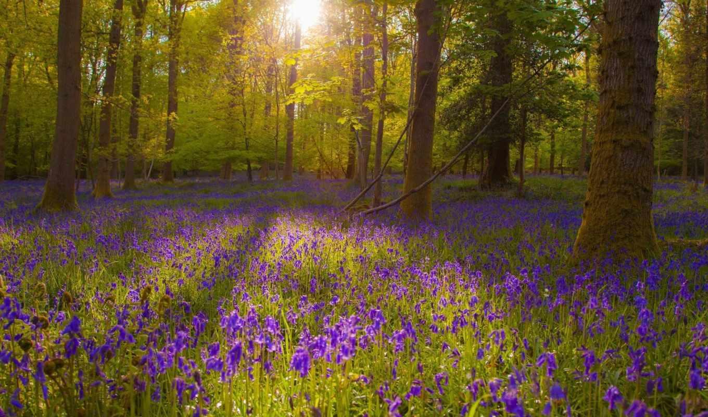 поляна, цветочная, лесу, деревьев, между, sun, проглядывает, фабиана,