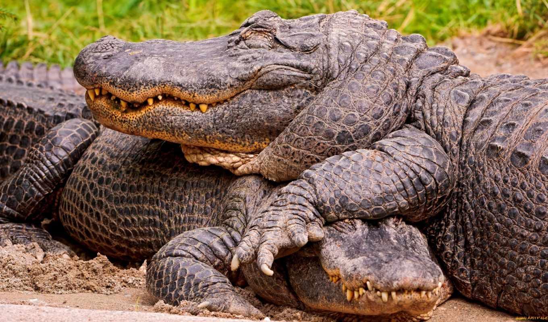 крокодил, крокодилы, капюшон, следы, животных, наклейка, zhivotnye, авто, большой,