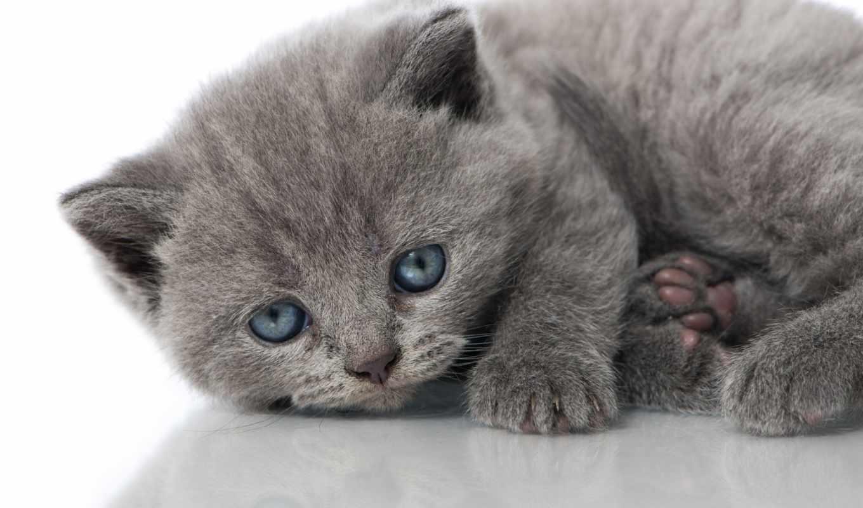 голубые, глаза, котенок,