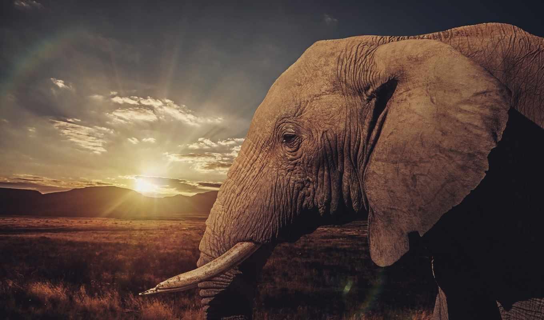 слон, саванна, животные, бивни,