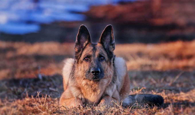 овчарка, немецкая, собака, смотреть, друг,