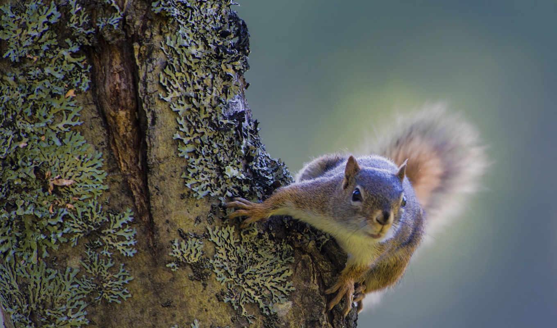 белки, природа, squirrels, climbing, animals, desktop,