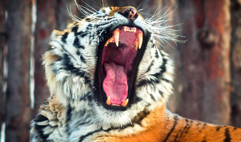тигр, cats, animals, lovely, desktop, love,