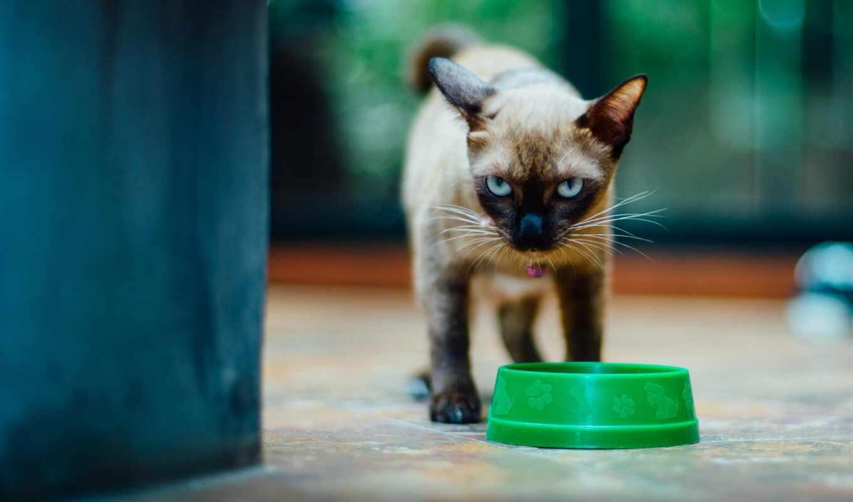 кот, отказаться, картинка, meal, side, сиамский, взгляд, burmese, котенок, ложь