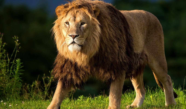 lion, взгляд, трава, животные, кот, охоте, большая, run, иначе, быстрее,