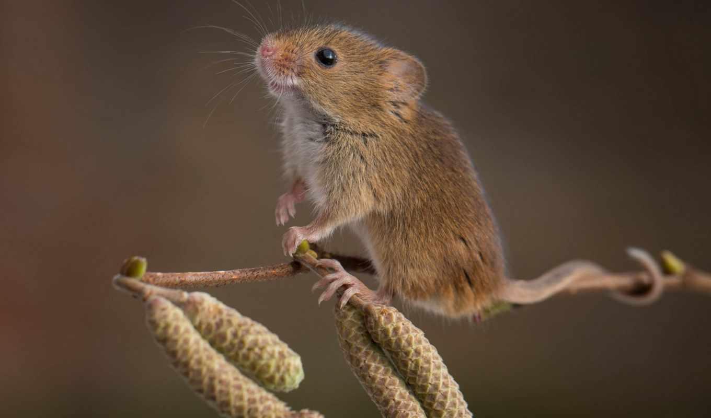mouse, photography, wild, мышь, же,