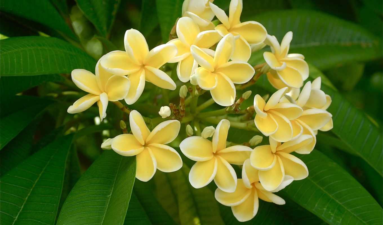 wallpaperz, июня, цветочная, мб, красавица, часть, mix, плюмерия, frangipani,