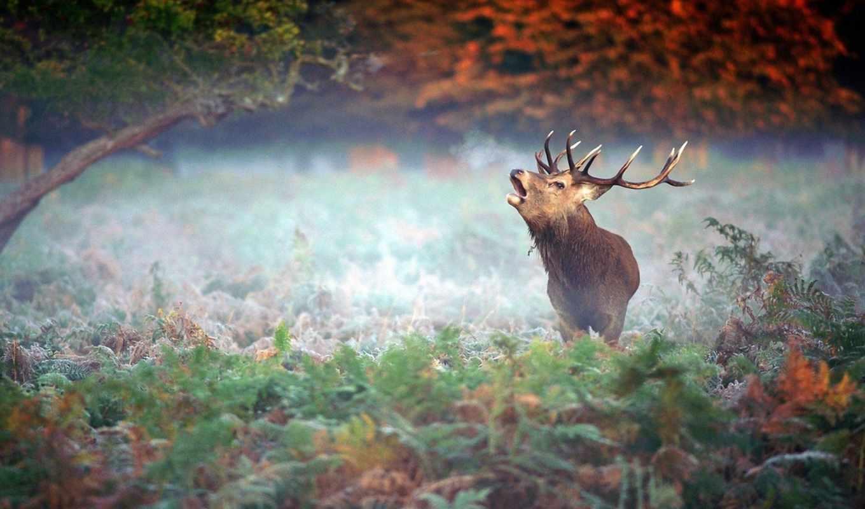 лань, рога, лес, небо, олени, sound, голос, cry, страница, красивое,