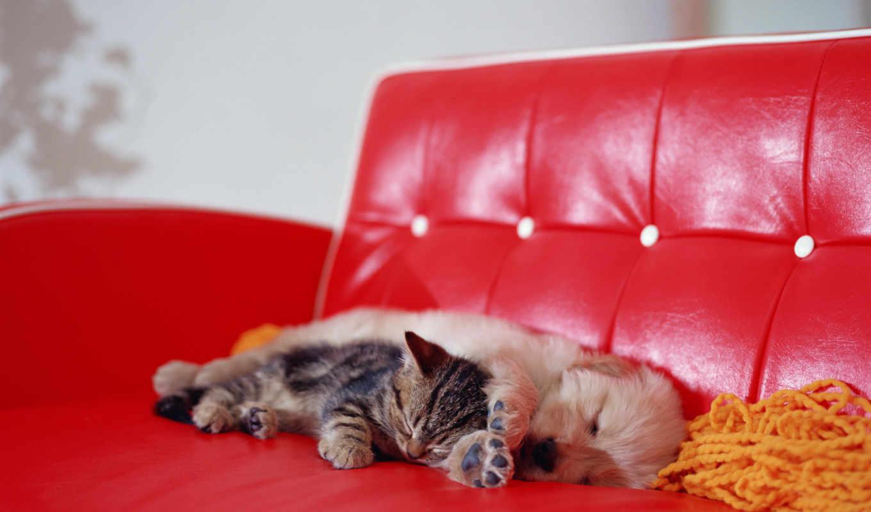 собака, диване, сладко, щенок, котята, котенок, спит, кошками, разных, спят,