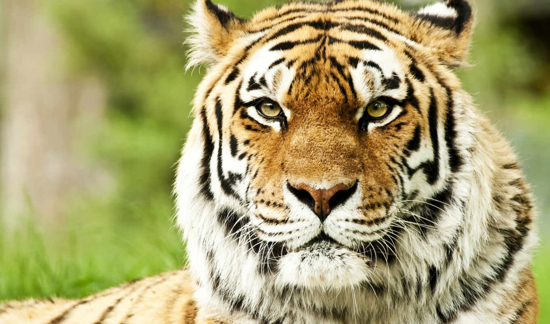 тигр, морда, animal, кот, хищник, tigre, siberian