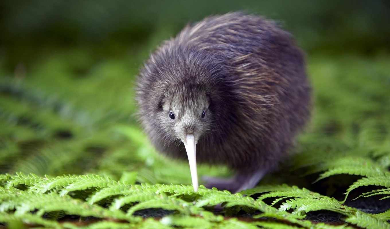 новой, зеландии, киви, символ, птица,