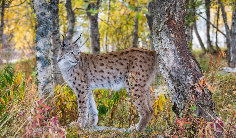рысь, хищник, осень, лес,