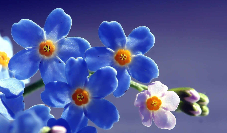 незабудки, цветы, качестве, высоком,